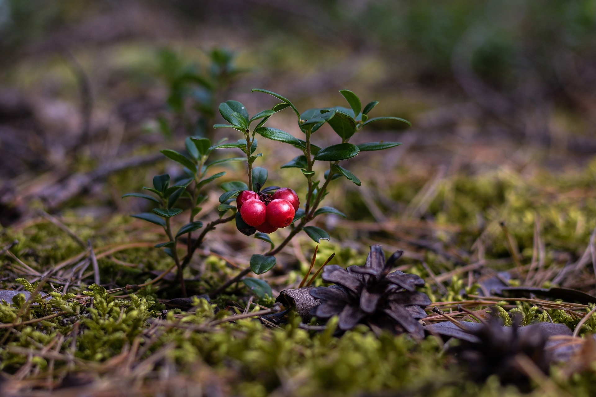 Cranberries Growing From Ground
